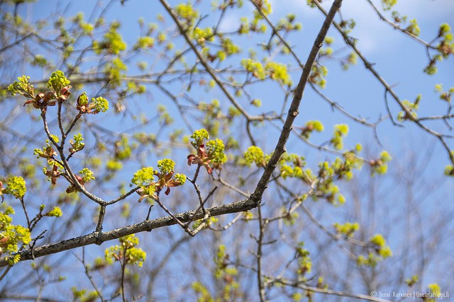 Kevään ensimmäisiä lehtiä puissa
