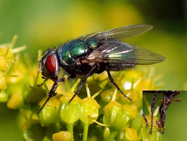 Not Like a Hoover. Common Greenbottle Fly, Lucilia caesar, on Smyrnium perfoliatum, Perfoliate Alexanders, Hortus Botanicus, Amsterdam, The Netherlands