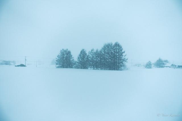 Conifers in snow / 雪の針葉樹