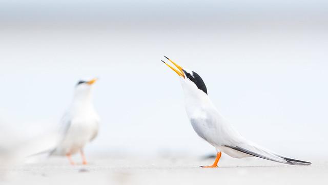 Zwergseeschwalbe - Little Tern