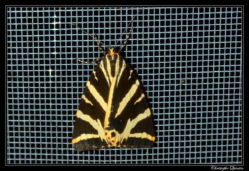 Ecaille chinée (Euplagia quadripunctaria)