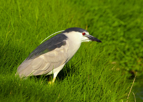 Black crowned night heron | by simonrumi