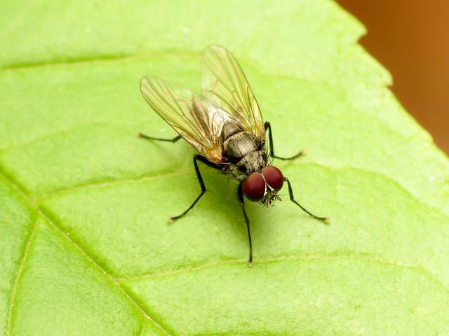 Root-maggot Fly