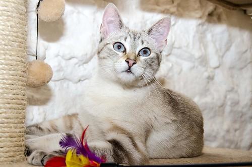 Teryl, preciosa gata siamesa tabby esterilizada nacida en Septiembre´18, en adopción. Valencia. ADOPTADA. 32837397727_ce5fb2c484