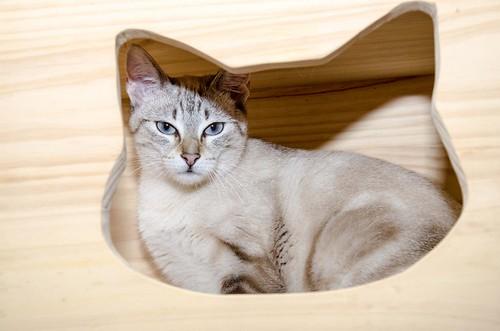 Teryl, preciosa gata siamesa tabby esterilizada nacida en Septiembre´18, en adopción. Valencia. ADOPTADA. 32837398597_7ef679a307