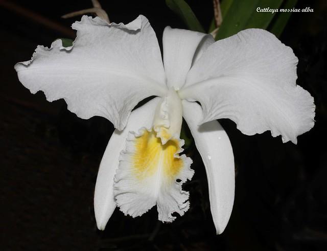 Cattleya mossiae alba 32838062897_efbf23b5bd_z