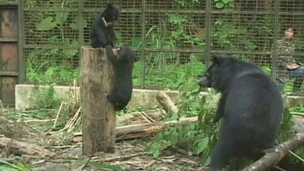台中烏石坑的低海拔試驗站,有全台灣獨一無二,提供給小熊野訓的展場,過去HAPPY和BINGO兩隻小熊就曾經在這裡進行野訓。