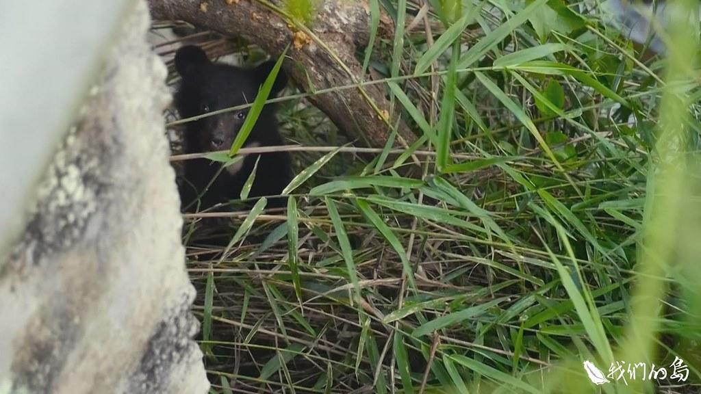 2018年7月10日,一隻跟媽媽走失的小熊,被遊客發現出現在花蓮南安瀑布附近。 (照片提供 台灣黑熊保育協會)