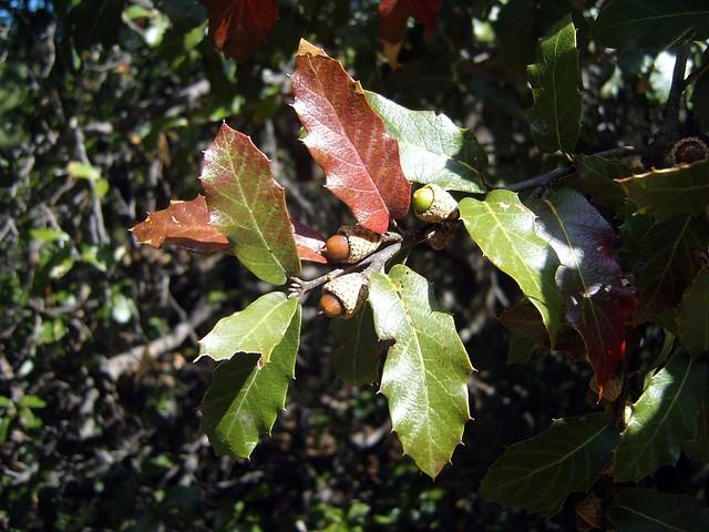 Quercus 'Guachochi' (FAGACEAE).