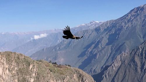 condor canyonducolca colcacanyon oiseau bird montagne mountain canyon landscape paysage andes pérou peru sony ilce7m2 alpha7ii avril april condorcross croixducondor