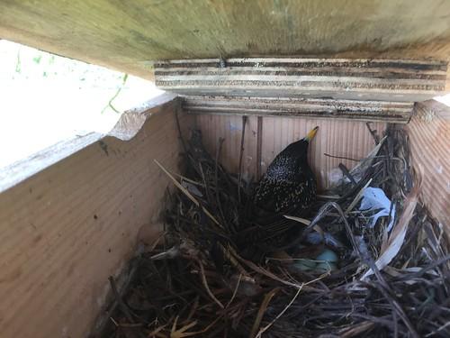 Hier heeft een spreeuw de kast gekraakt en 4 eieren gelegd.