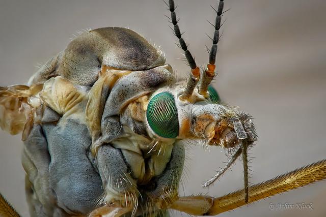 Schnake (Tipulidae) wildlife