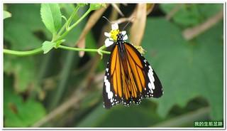虎斑蝶;擬阿檀蝶;黑脈樺斑蝶;黑條樺斑蝶;粗脈棕斑蝶#Danaus genutia