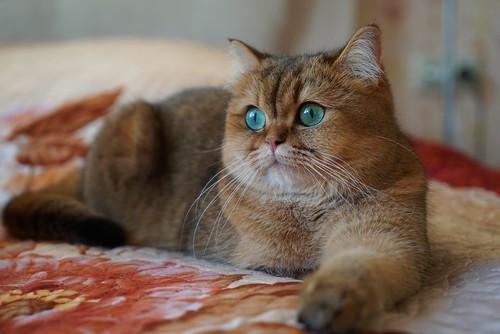 My britishcat | by almazur