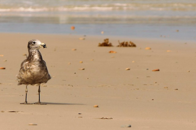 Young Pacific Gull, Swimmers Beach, Yorke Peninsula, South Australia