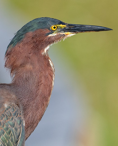 Green Heron | by Laura Erickson
