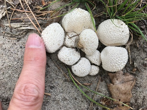 Puff ball mushrooms