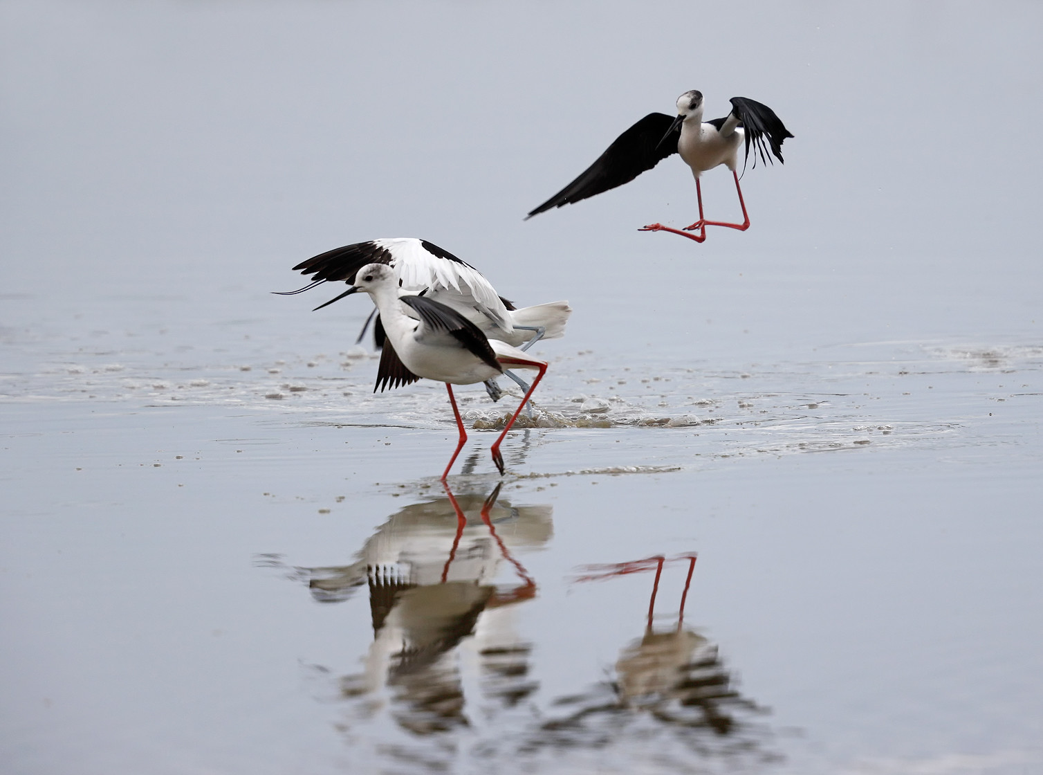 Avocet and Black-winged Stilt argument