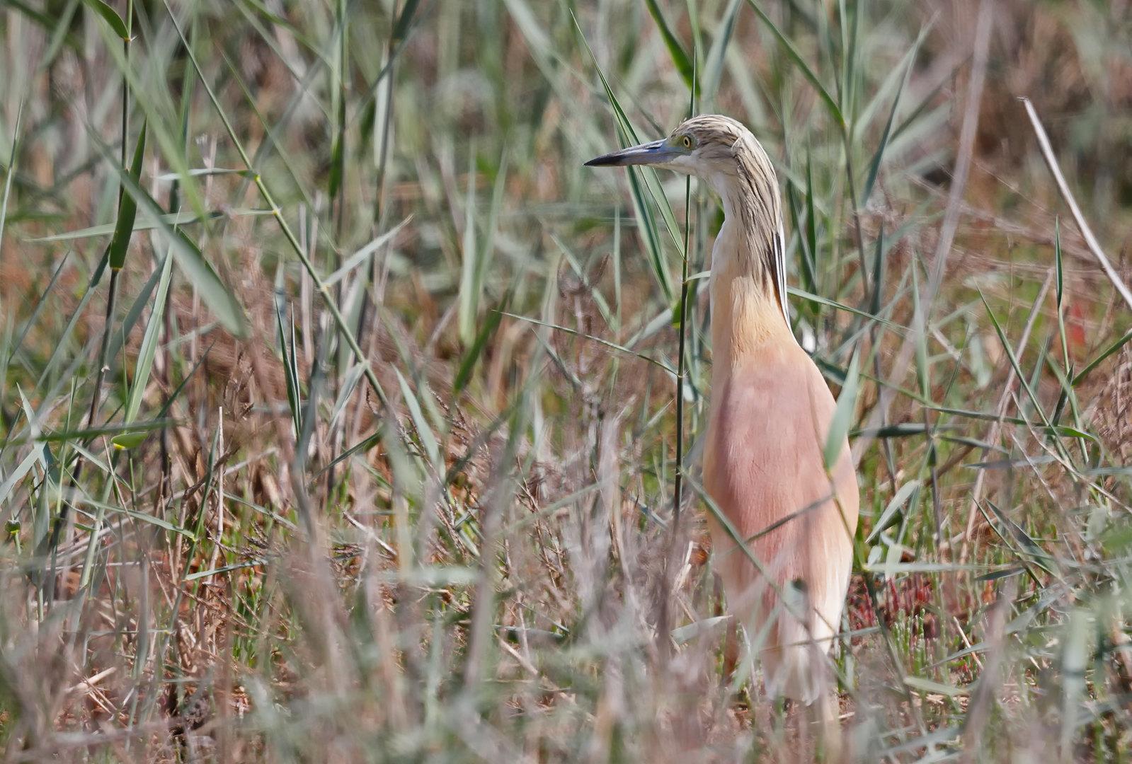 Squacco Heron [distant]