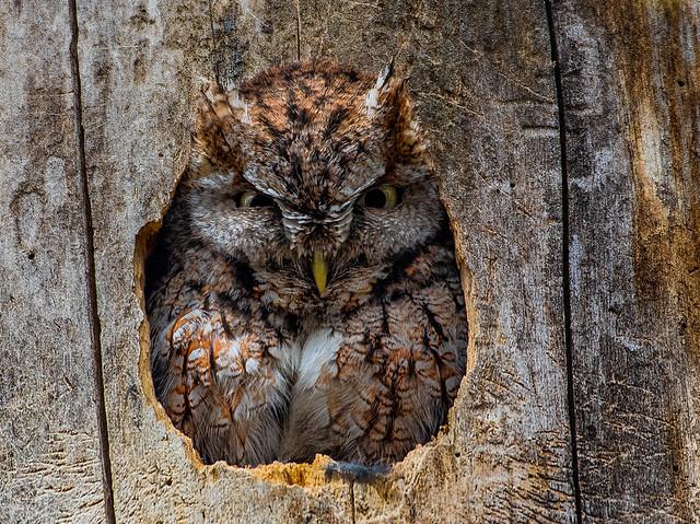 Eastern Screech-Owl - Megascops asio - Petit-duc maculé.tif