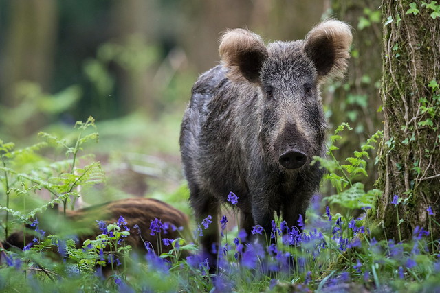 Wild Boar and Bluebells (Explored)