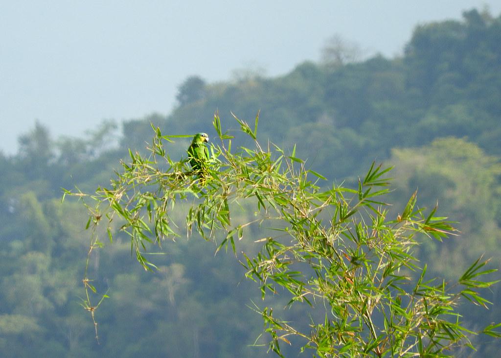 Orange-winged Parrot