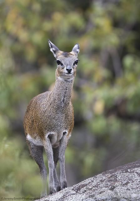 Klipspringer, Oreotragus oreotragus, Matopos National Park, Zimbabwe