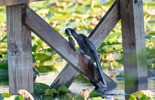 Father Anhinga dealing with a very big fish