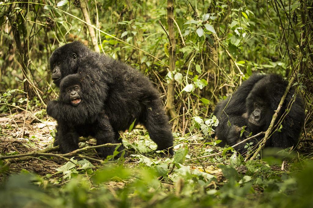 維龍加國家公園(Virunga National Park)內的山地大猩猩。圖片來源:Joseph King(CC BY-NC-ND 2.0)