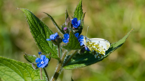 Female orange tip butterfly feeding, alkanet flower