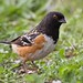 IMG_9240 spotted towhee