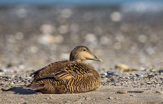 Helgoland-Eiderente am Strand
