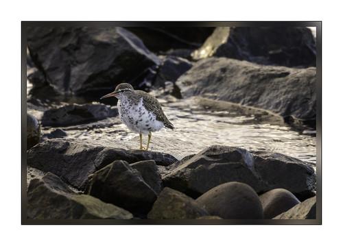 spottedsandpiper elsieroemerbirdsanctuary