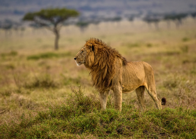AFRICAN LION: Warm Embrace of Dawn