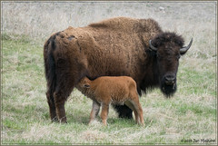 Bison Mother and Red Dog 2654