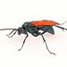 Tarantula-hawk Wasp Tribe - Photo (c) Judy Gallagher, some rights reserved (CC BY)