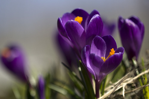 Crocus | by kimpapsy