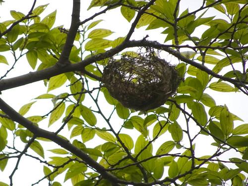 横浜自然観察の森で野鳥観察 メジロの巣