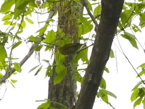 横浜自然観察の森で野鳥観察 メジロ