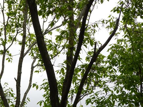 横浜自然観察の森で野鳥観察のメジロ