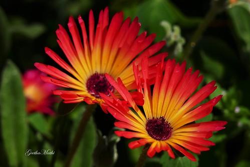Ice plant flowers