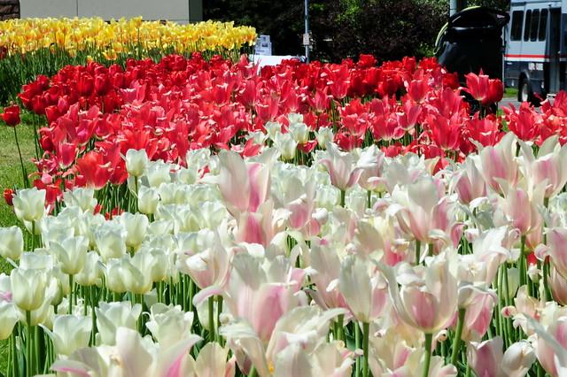 Highland Tulips - 08