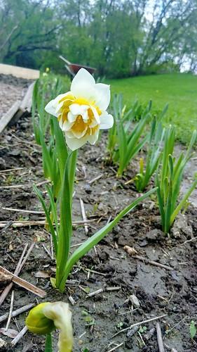 Double Daffodil in the Backyard
