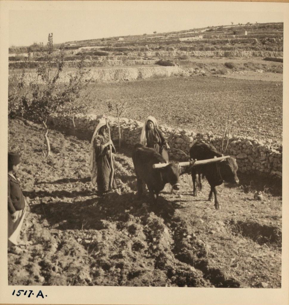28. Женщины пашут возле Хеврона. 8 декабря
