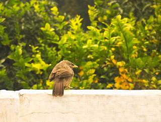 Jungle Babbler bird