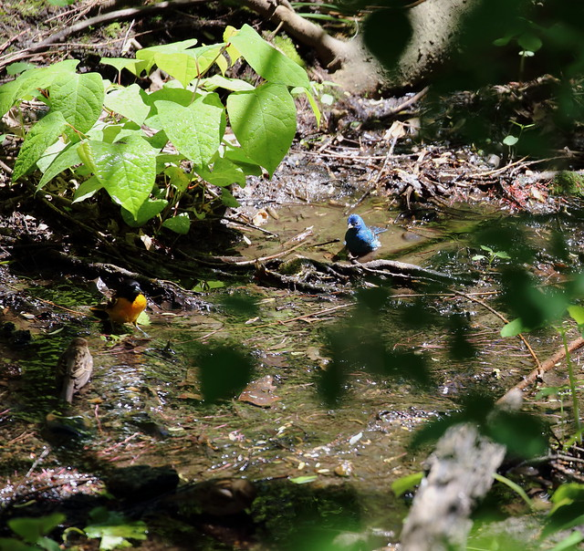 indigo bunting and oriole together