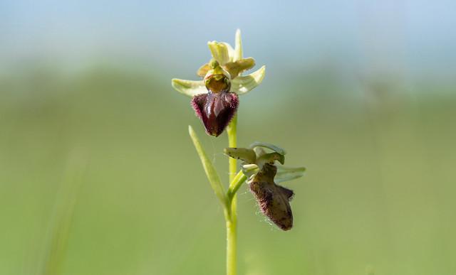 Pókbangó (Ophrys sphegodes)