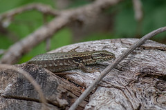 Common Wall Lizard - Podarcis muralis - Nemours, France