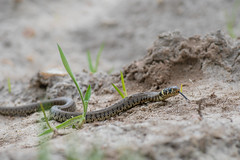 Young Grass Snake - Natrix helvetica - Nemours, France