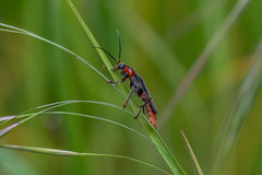 Cantharide commune - Cantharis fusca - Nemours, France